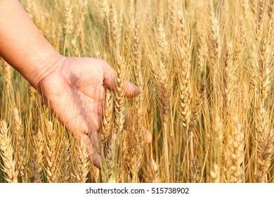 Man's hand holding spicas of wheat in a wheat field