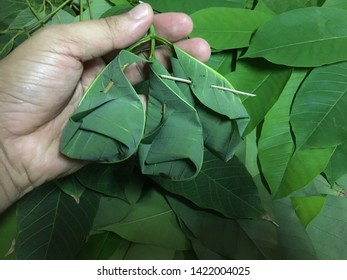 The man's hand is holding the 'Tapai Pulut' that has been wrapped in a dull green leaf rubber.