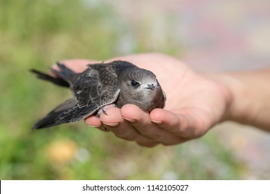 The man's hand holds the swifts found in order to let go, close up. Newborn swift in human arms on a sunny summer day. Care of a small bird that fell out of the nest