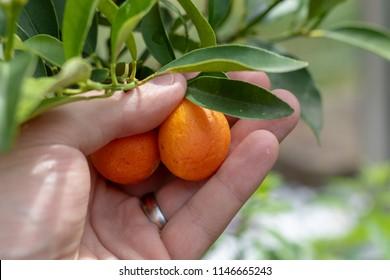 Mans hand picking kumquats from the kumquat plant