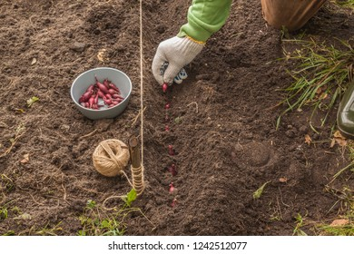 """A man's hand planting onions """"Red Baron"""" in the garden in the autumn"""