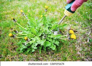 Man's hand pulling out dandelion plant using weed puller