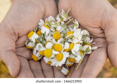 Man's hands with camomiles on sunny summer day. ?ollecting pharmacy camomile for chamomile tea. Medicinal plant in the palms. Closeup