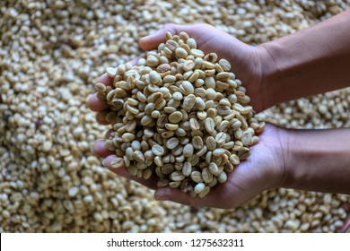 Man's hands holding coffee beans with parchment