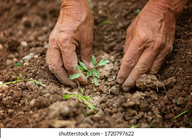 Man's hands holding little tomato vegetable seedling and planting in morning sun in spring in backyard . Wrinkled hands holding green small plant, new life and growth concept. Self-sustainability.
