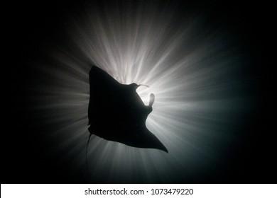 A manta ray, Manta alfredi, feeds on plankton at night under a ship's light in Raja Ampat, Indonesia.