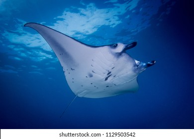 A Manta ray -  Manta alfredi or Reef manta swimming over the reef in Komodo national park, Indonesia.