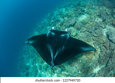 A Manta ray, Manta alfredi, swims over a reef in Raja Ampat, Indonesia. This remote, tropical region is known as the heart of the Coral Triangle due to its extraordinary marine biodiversity.