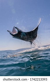 Manta Ray breaching overhead, Ningaloo Reef, Western Australia