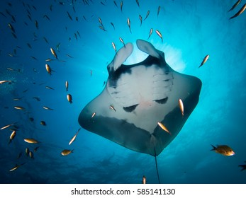 Manta ray with divers