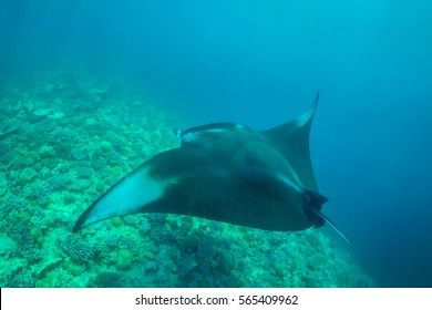 Manta ray filter feeding above a coral reef in the blue lagoon waters with sunlight. Marine life and colorful coral reef in Maldives.