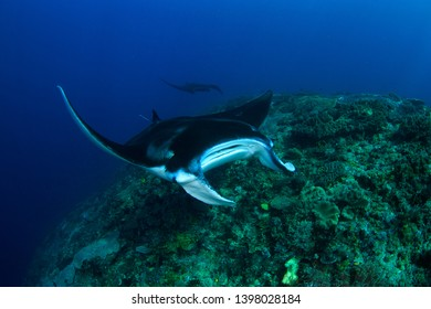 Manta Ray gliding over a reef, second manta in the background. Scuba diving holiday in top dive vacation destination Raja Ampat, Indonesia