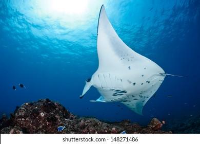 Manta ray in Indian Ocean - Maldives, North Male Atoll