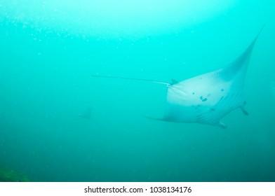 Manta ray, Maldives.