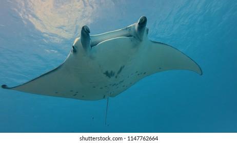 manta ray in Maupiti, french polynesia