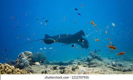 Manta Ray - New Caledonia