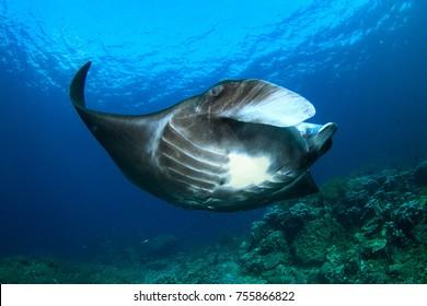 Manta ray on reef