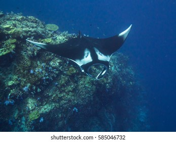 Manta ray over a cleaning station