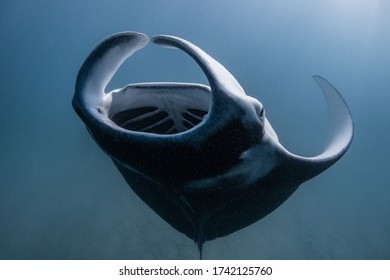 Manta Ray performing a backflip trying to eat as much food as possible, Ningaloo Reef, Western Australia