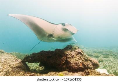 Manta ray Manta Point, Nusa Penida