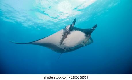 Manta ray, Revillagigedo Islands, Mexico.