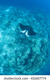 A Manta ray (Manta sp.) cruises over a deep pinnacle in the tropical Pacific Ocean. There are two species of mantas that roam the seas.