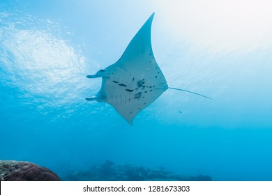 Manta ray swimming around bright coral reef like flying in sky. Yap island, Federated States of Micronesia.