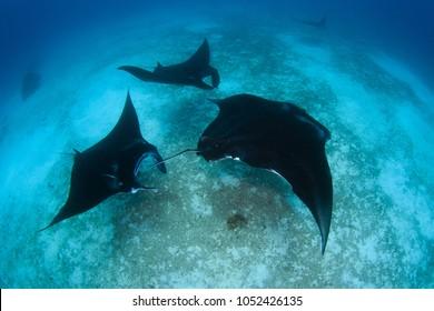 Manta Ray swimming in Formation at Raja Ampat