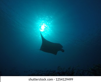 Manta Ray swimming over a cleaning station at the coral reef of the Moofushi atoll in the Maldives