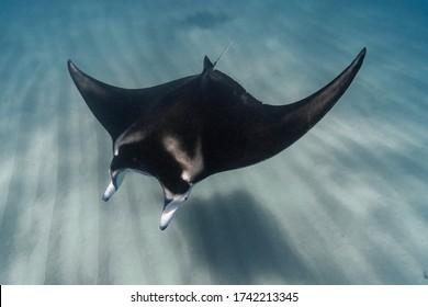 Manta Ray swimming over ripples in the sandy ocean floor, Ningaloo Reef, Western Australia