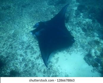 Manta ray is swimming under the sea in Labuan Bajo, Komodo National Park, Indonesia