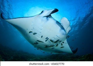 Manta Rays against the sun in a cleaning station