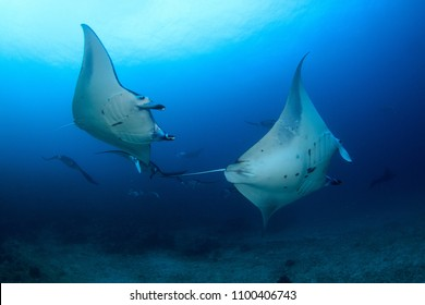Manta Rays during a mating aggregation in Komodo Nationalpark in Indonesia