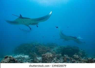 manta rays flying through the water of the maledives with blue background