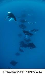 Manta Rays in Hanifaru bay