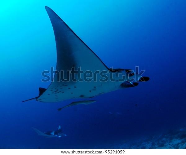 Manta rays, Maldives
