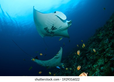 Manta Rays swimming in a cleaning station on a coral reef. Underwater image taken on a scuba diving trip in Raja Ampat, Indonesia