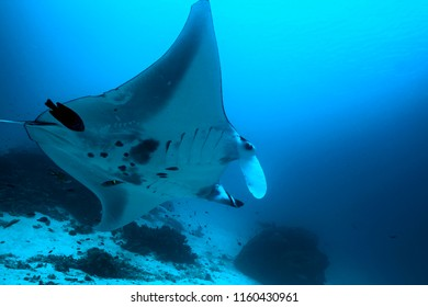 Manta Sandy, reknown cleaning station frequented by manta rays in Raja Ampat, Indonesia.