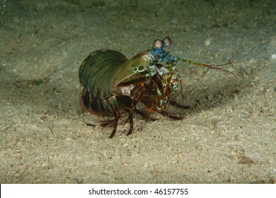 manti shrimp is watching the photograph