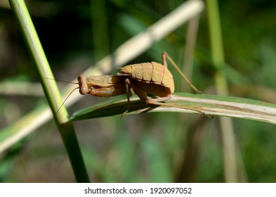 Mantid, (family Mantidae), also called mantis, praying mantid, or praying mantis, any of approximately 2,000 species of large, slow-moving insects that are characterized by front legs with enlarged fe