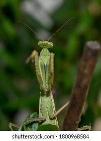 Mantids- Mantidae is one of the largest families in the order of praying mantids, based on the type species Mantis religiosa. Close up.
