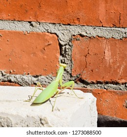 Mantis, climbing on a brick wall. The female mantis religios. Predatory insects. Huge green female mantis.