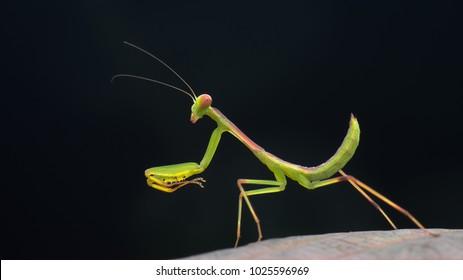Mantis close up