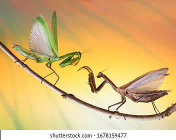 Mantis are fighting on the branches of a tree. Confrontation of two mantis and posing. Macro picture with cool background.