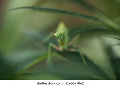 mantis head macro