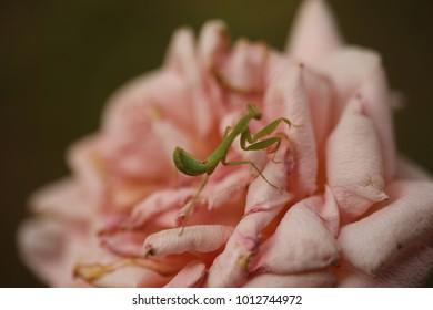 Mantis lives on flower in Asia Thailand