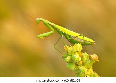 Mantis on flower, Mantis religiosa, beautiful evening sun, Czech republic. Beautiful sunset light with insect. Wildlife scene from meadow.