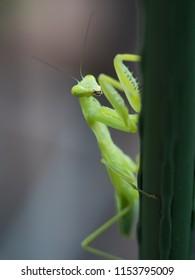 Mantis on the plant