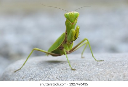 Mantis on a stone. Shallow depth of field. Selective focus on the head of mantis.