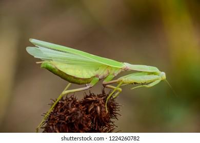 Mantis on the tong. Mating mantises. Mantis insect predator